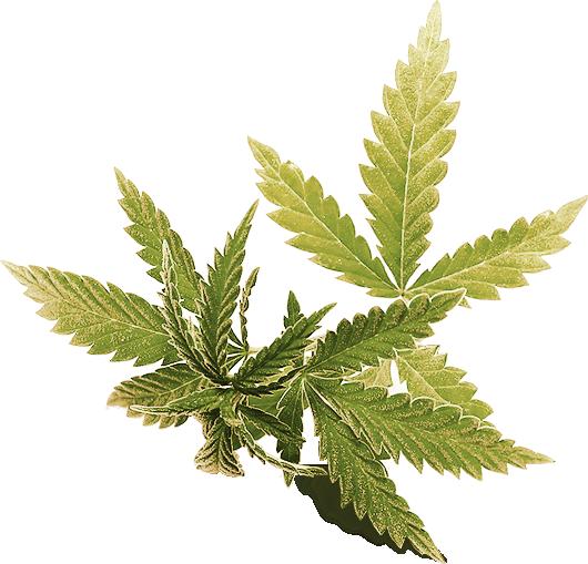Marijuana leaf used for background decor