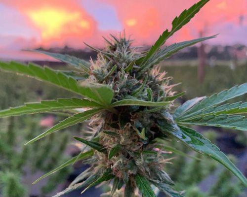 Jamaican marijuana bud at ganja farm tour