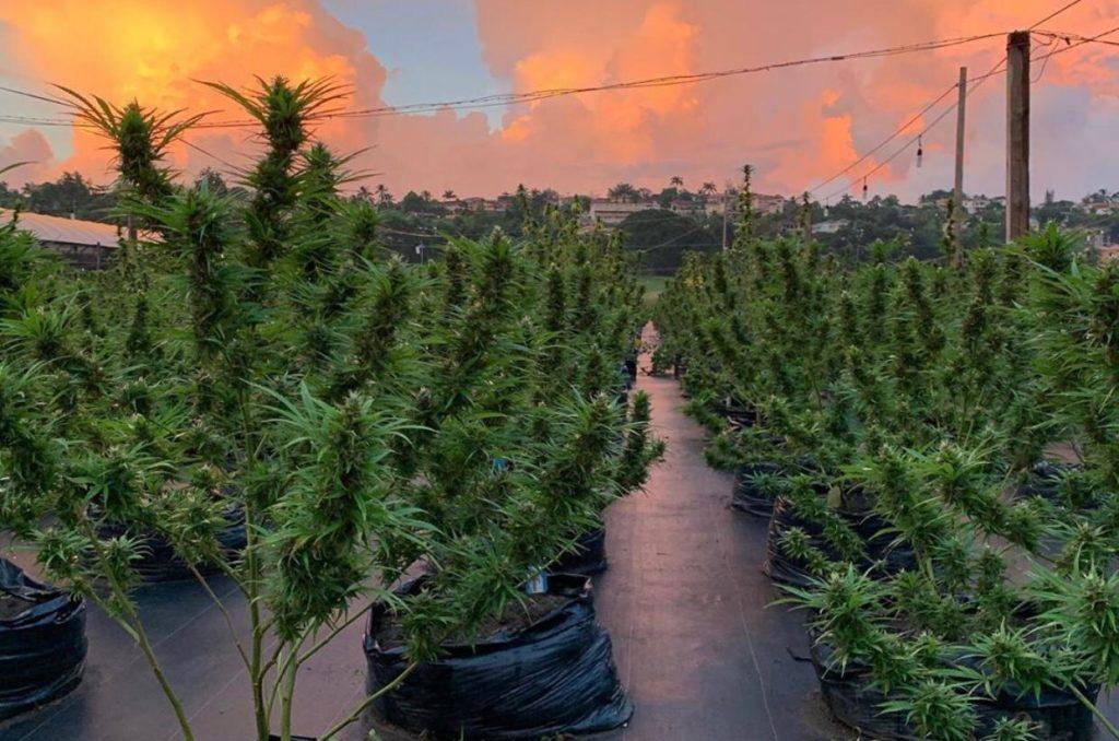 Jamaican marijuana plants at ganja farm tour